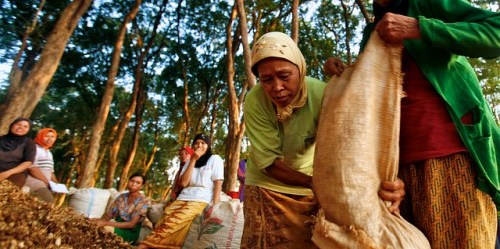 Wanita memanen kacang tanah di Jawa Tengah, Indonesia. Jumlah orang yang memanfaatkan sumber daya hutan untuk pangan, energi dan tempat bernaung diduga miliaran, menurut sebuah laporan terbaru. Foto CIFOR