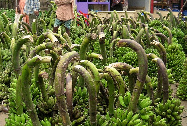 Bunches of bananas still on the stalk. Bangladesh.   Photo by Terry Sunderland for Center for International Forestry Research (CIFOR).