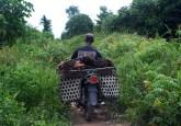 Seorang penduduk desa mengangkut buah kelapa sawit dari perkebunan di Jambi, Indonesia. Suatu pergeseran menuju ekonomi hijau yang menyeimbangkan berbagai sasaran ekonomi dan lingkungan masih jauh, menurut seorang pakar ekonomi. Iddy Farmer/CIFOR photo