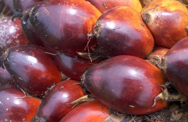 Juara yang tak terkalahkan, buah dari kelapa sawit (Elaeis guineensis), yang terlihat di sini adalah di Indonesia, menghasilkan lebih banyak minyak dibandingkan tanaman lain. Hari Priyadi/CIFOR photo