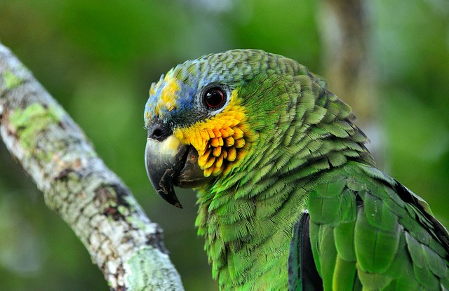 Parrot in the Amazon, Brazil.   Photo by Neil Palmer/CIAT for Center for International Forestry Research (CIFOR).
