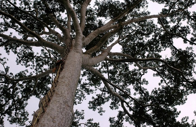 Climbing a tree to find honey bees in Gunung Lumut, East Kalimantan, Indonesia. Photo by Jan van der Ploeg / CIFOR.