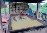 Cassava flour production in one of the study communities. Claudio de Sassi/CIFOR photo