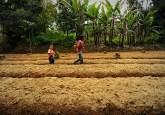 Petani lokal berjalan di antara kebun sawi siap panen di dataran rendah, bersebelahan dengan taman nasional Gunung Gede Pangrango. Ricky Martin/CIFOR