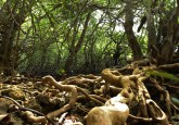 Hutan mangrove di Bali, Indonesia. Sampai dengan 50 persen mangrove dunia telah musnah selama setengah abad lampau. Foto: Aulia Erlangga/CIFOR