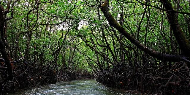 Los atributos únicos de los ecosistemas marinos y costeros, como los manglares, pueden hacerlos vulnerables a los riesgos asociados a factores estresores externos. Foto cortesía de Ajay R.