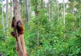 Orang utan di pulau Kaja, Kalimantan Tengah. Propinsi ini Provinsi Kalimantan Tengah menjadi yang pertama melaksanakan INCAS sebelum diperluas secara nasional. Terry Sunderland/CIFOR