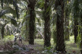 Petani sawit di Sintang, Kalimantan Barat.