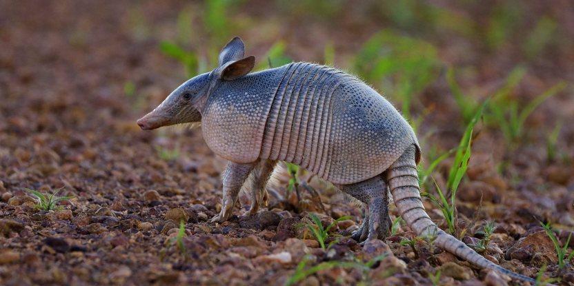 """Armadillo, llamado """"Tatu"""" en Brasil, es, junto a la paca, uno de los animales que más buscan los cazadores deportivos según los videos analizados."""