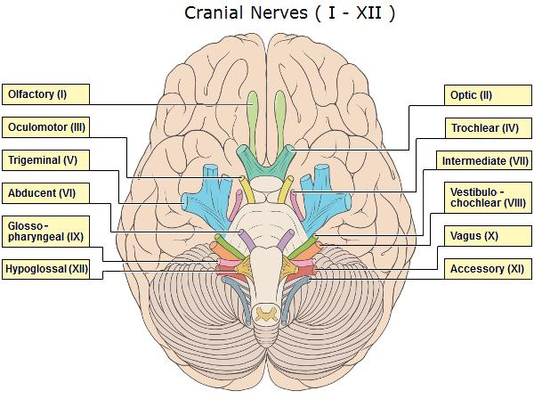 12 pairs of cranial nerves What are they and what are their functions?