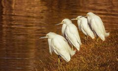 Snowy Egrets at Santee Lakes in California