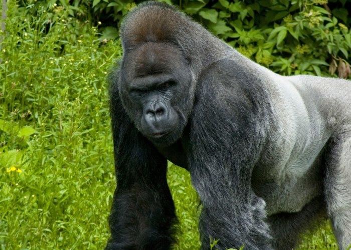 gorilla in gabon
