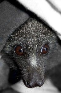 Close up picture of face of black flying fox
