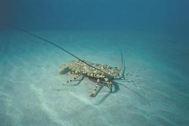 Tropical_lobster
