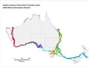 Satellite tracking of white sharks in Australia.