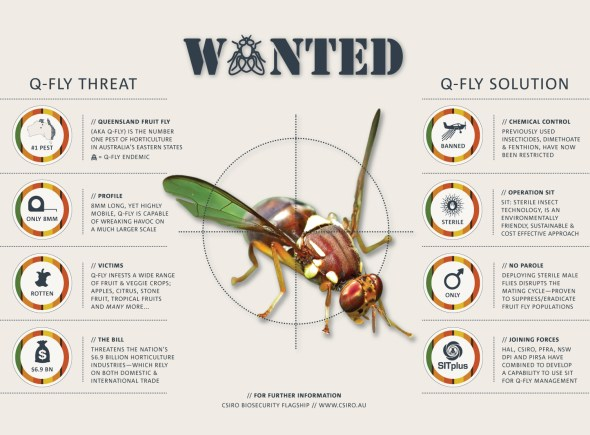 Our sterile insect technology could be the key to eradicating the Q-fly. Click to view full size.