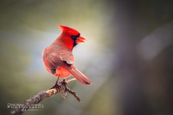Mr. Cardinal Hello