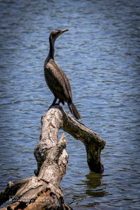 Cormorant Waiting