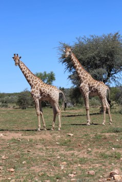 IMG_4955Giraffen