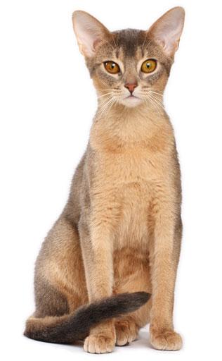 LAbyssin est un chat élégant doté dun beau pelage. Sa tête est un triangle aux contours arrondis. Ses grands yeux légèrement en amande sont or,