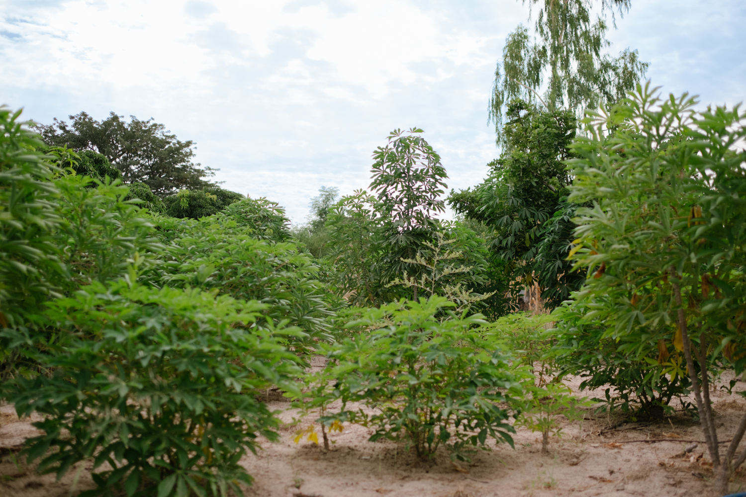 Garden Trees Your Trees In Senegal