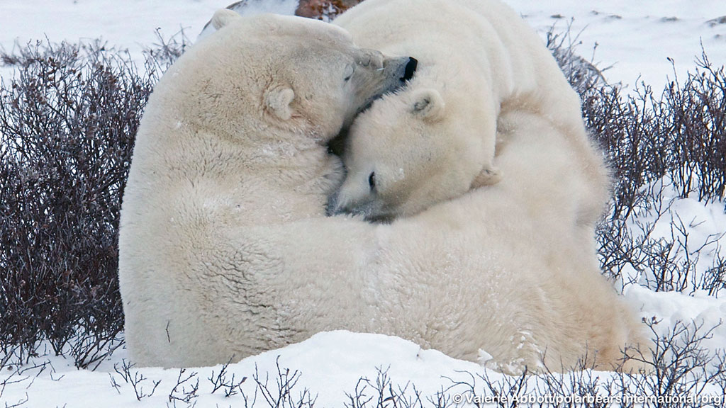 Portland Or Fall Had Wallpaper Larinor S Polar Bear Story Explore