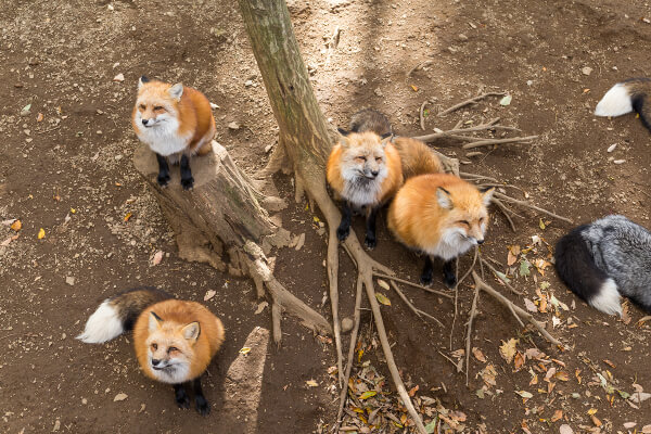 Foxes in Garden - What You Need to Know - Fantastic Gardeners Blog