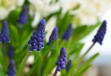 Muscari planta color perfume