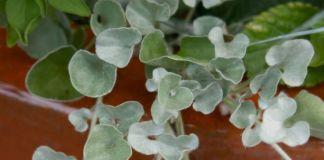 cuidados-dichondra-argentea