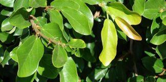Cultivo Ficus pumila