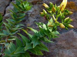 Hypericum reflexum arbusto