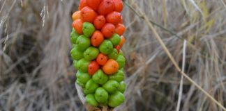 Arum italicum planta