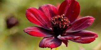 Cosmos atrosanguineus flor chocolate