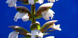 Acanthus mollis arbusto