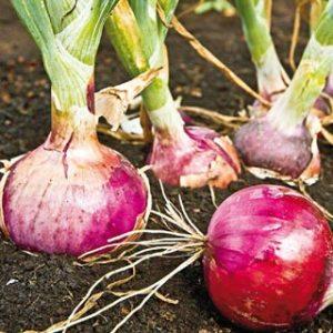 Candy Apple Onion