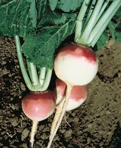 Purple Top White Globe Turnip