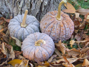 Black Futsu Pumpkins in Autumn Displays