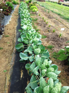 Brussels Sprouts Trials
