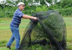 Covering a Juliet Dwarf Cherry with Premium Bird Netting to protect cherries from hungry birds