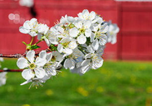 Dwarf cherry blossoms.