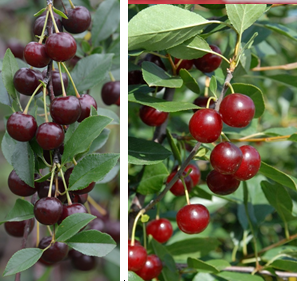 The cherries on the left are at peak ripeness, the cherries on the right are not ripe yet.