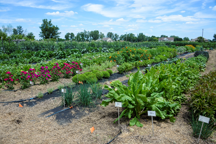 Vegetable garden at the Gurney's Farm