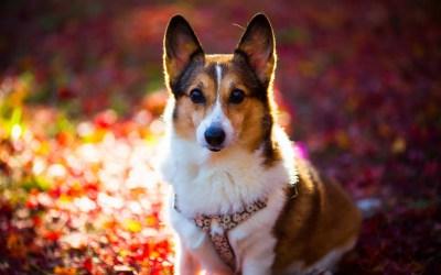 12 HD Corgi Dog Wallpapers