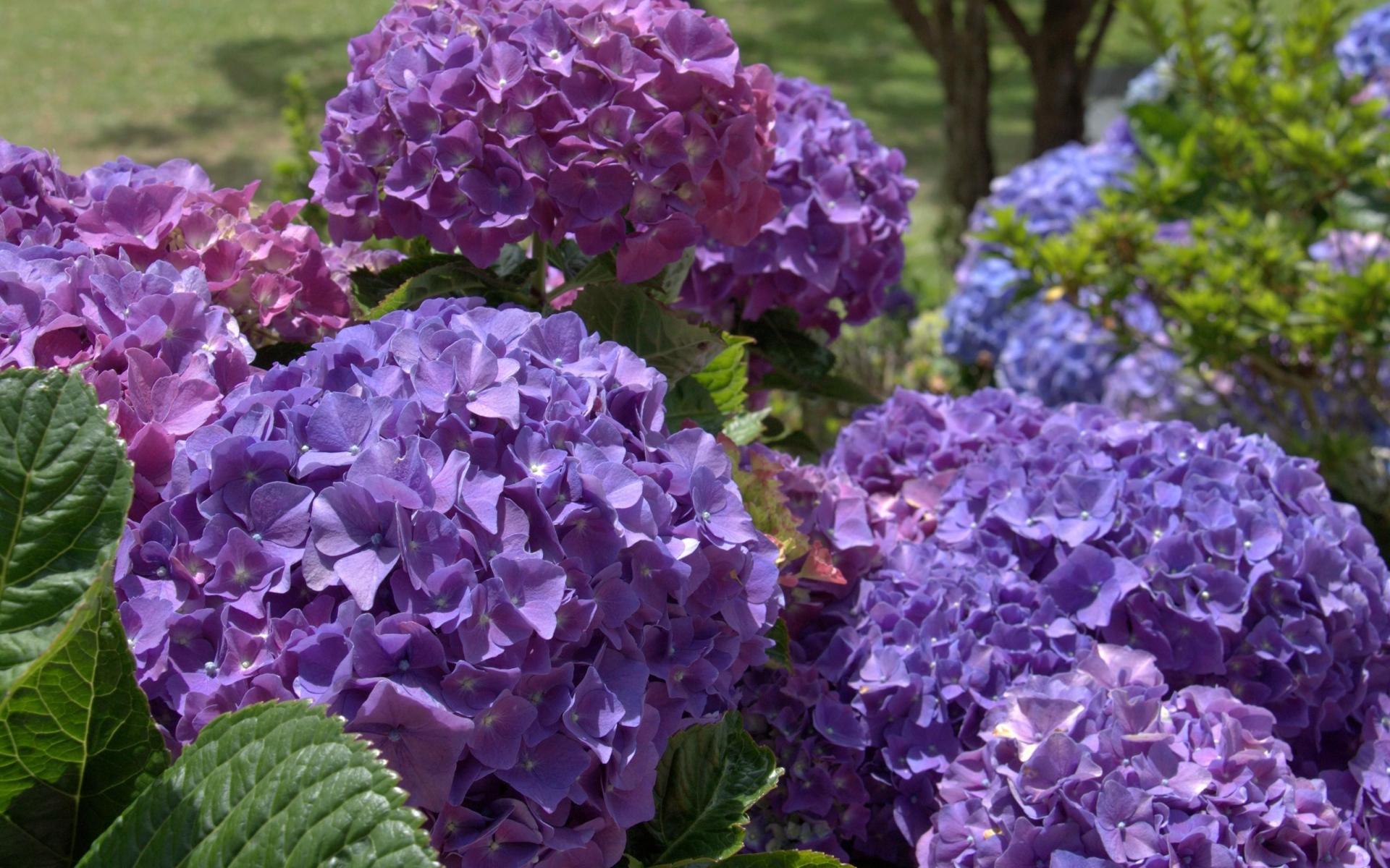 Violet Flower Hd Wallpaper Hydrangea Flowers Wallpapers Archives Hdwallsource Com