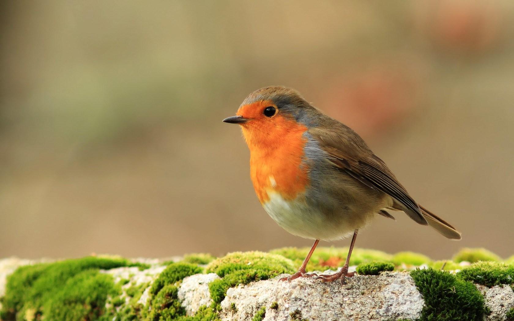 Fall Wallpaper Screensavers 3 Hd Robin Bird Wallpapers