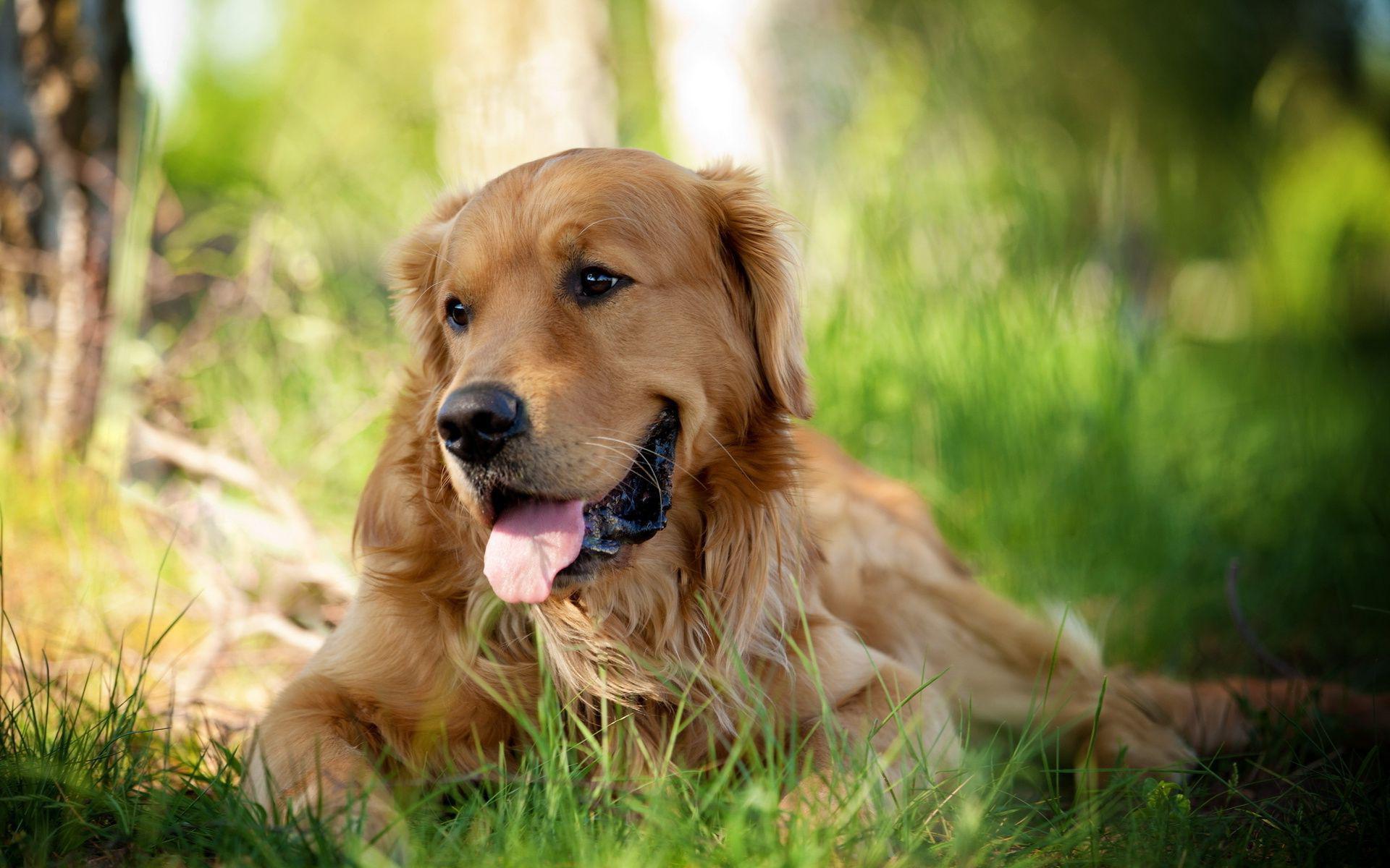Puppies And Fall Wallpaper 30 Hd Golden Retriever Dog Wallpapers