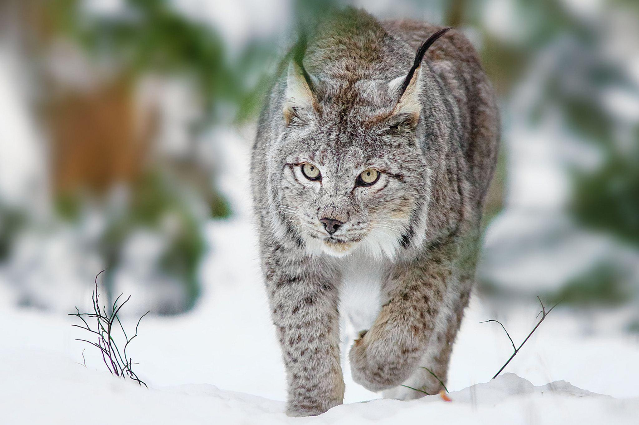 Winter Animal Wallpaper Lynx Archives Hdwallsource Com Hdwallsource Com