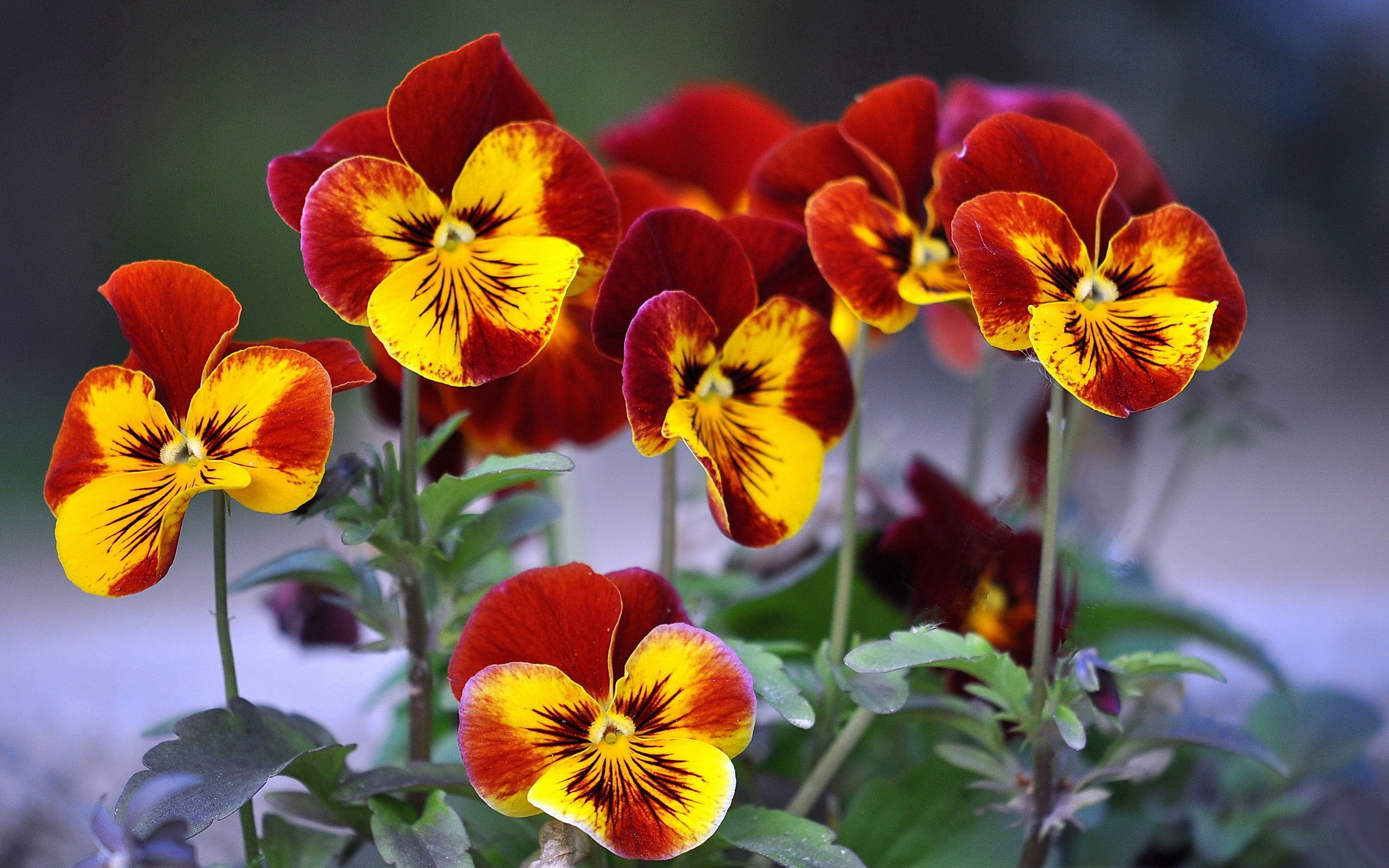 Birthday Background Wallpaper Hd 26 Beautiful Hd Pansy Flower Wallpapers Hdwallsource Com