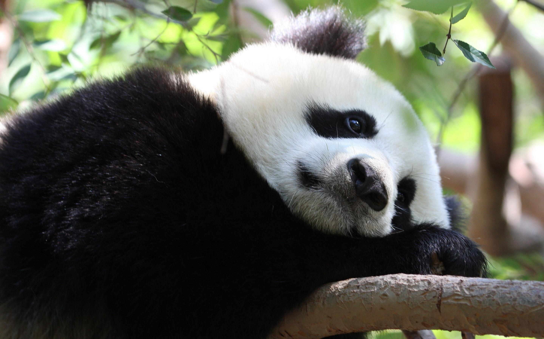 Cute Baby Hd Wallpaper For Laptop 11 Wonderful Hd Panda Wallpapers Hdwallsource Com