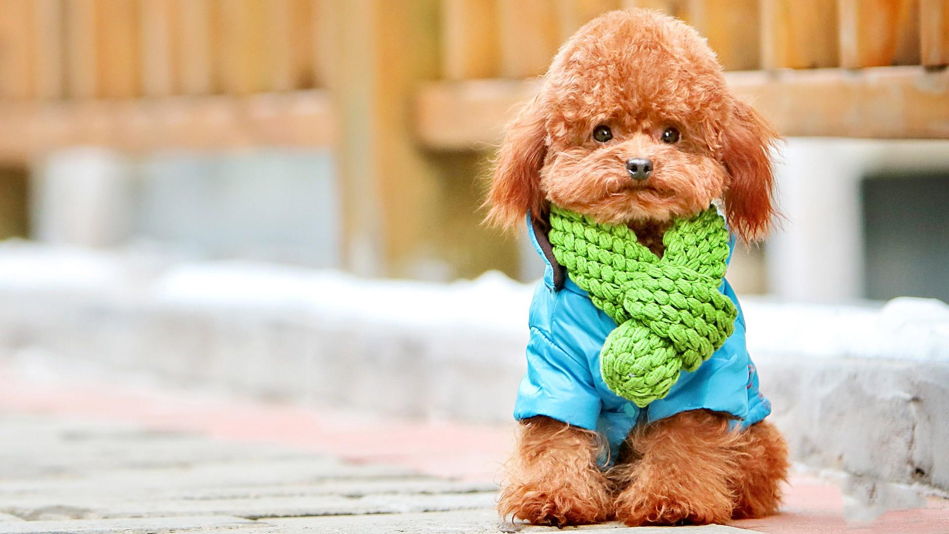 Cute Puppies Wallpaper 1080p 14 Hd Poodle Dog Wallpapers Hdwallsource Com
